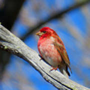 Purple Finch In Spring Poster