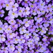 Purple Flowers - Rockcress Poster