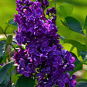 Purple French Lilac Poster