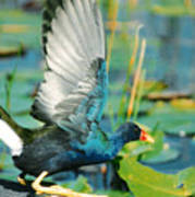 Purple Gallinule Poster