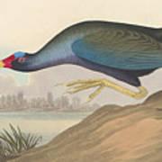 Purple Gallinule Poster
