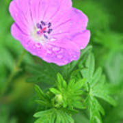 Purple Geranium Flower Poster by Neil Overy