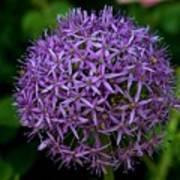 Purple Globe Thistle Poster
