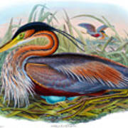 Purple Heron Antique Bird Print John Gould The Birds Of Great Britain Poster