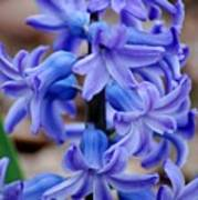 Purple Hyacinth Poster