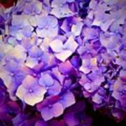 Purple Hydrangeas Poster