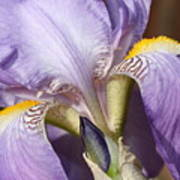 Purple Iris Beauty Poster