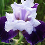 Purple Iris Flower Art Prints Garden Floral Baslee Troutman Poster