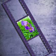 Purple Iris Passion Poster
