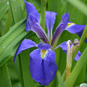 Purple Iris With Insect Poster