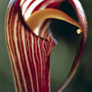 Purple Jack In Pulpit Poster
