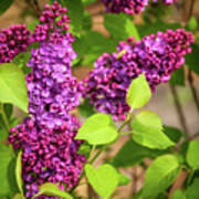 Purple Lilac Poster