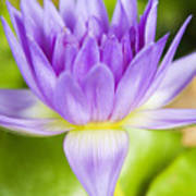 Purple Lotus Blossom Poster