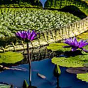 Purple Lotus Poster