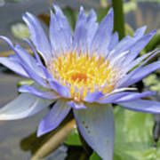 Purple Water Lily Flowers Blooming In Pond Poster