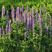 Purple Lupines In Summer Poster