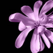 Purple Magnolia Poster