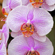 Purple Orchid 1 Poster