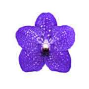 Purple Orchid On White Poster