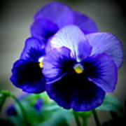 Purple Pansy - 8x10 Poster