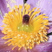 Purple Pasque Flower With Pollen Poster