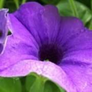 Purple Petunia Poster