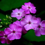 Purple Phlox By Earl's Photography Poster