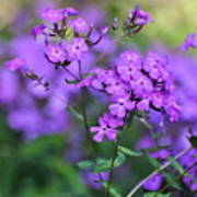 Purple Phlox Poster