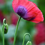 Purple Poppy Flower Poster