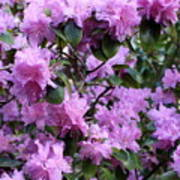 Purple Rhododendrons Poster