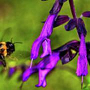 Purple Salvia 002 Poster