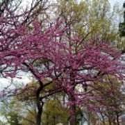 Purple Spring Trees Poster