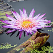 Purple Star Water Lily Poster