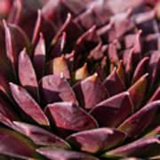 Purple Succulent Poster