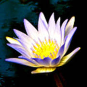Purple Tipped Water Lily Poster