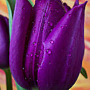 Purple Tulip Poster by Garry Gay