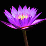 Purple Water Lily Flower Poster