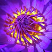 Purple Water Lily Macro Poster