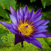 Purple Water Lily Poster by Ray Laskowitz - Printscapes