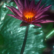 Purple Water Lily Poster
