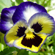 Purple White And Yellow Pansy Poster