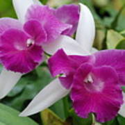Purple White Orchids Poster