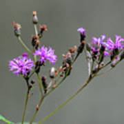 Purple Wildflower In Shiloh National Military Park, Tennessee Poster