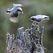 Pygmy Nuthatch In Flight Poster