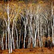 Quabbin Birches Poster