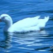 Quack Quack Said The Duck Poster