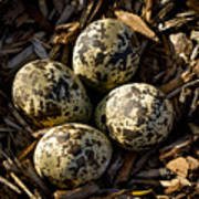 Quartet Of Killdeer Eggs By Jean Noren Poster