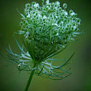 Queen Annes Lace - 365-164 Poster
