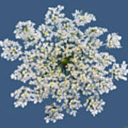 Queen Anne's Lace Flower Poster