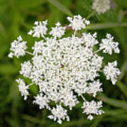 Queen Anne's Lace No 2 Poster